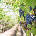 ポルトガルワインのブドウ品種。押さえておきたい厳選9種!